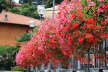 Pink And Red Geraniums In Summer, Italy