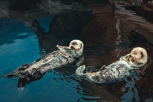 Two Sea Otter Floating