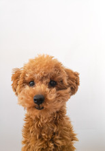 Passport Picture Of A Toy Pood...