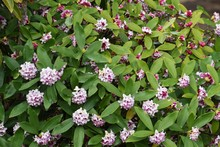 Daphne Blooming In The Park.