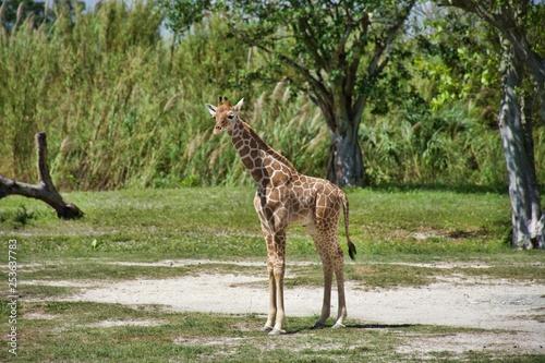Photo  Baby Giraffe