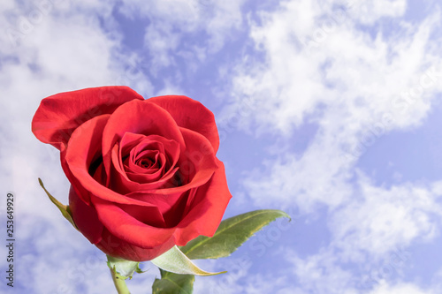 Single Red Rose Against Blue Cloudy Sky