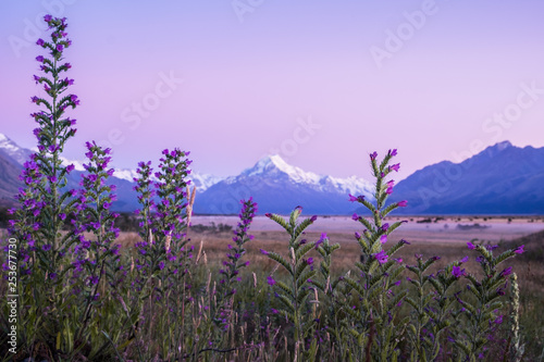 Foto op Aluminium Purper landscape of Mount cook with purple flowers in foreground
