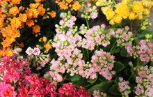 Tiny Flowers Of The Kalanchoe ...