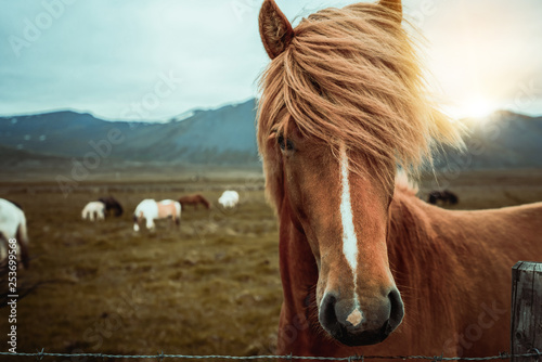 Leinwand Poster  Icelandic horse in the field of scenic nature landscape of Iceland