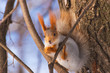 Squirrel eating a nut on a tree in winter