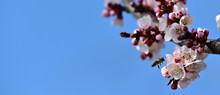 Honey Bee Pollinate Aprict Blossom Over Blue Sky Background Slow Motion 1080 Video