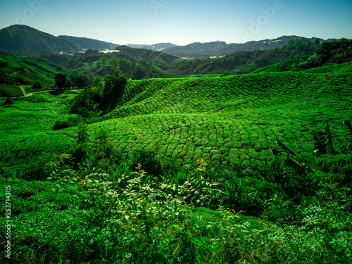 Tuinposter Groene tea plantations in cameron highlands