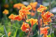 The Orange Yellow Canna Lily