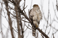 Juvenile Cooper's Hawk Perched On A Tree.