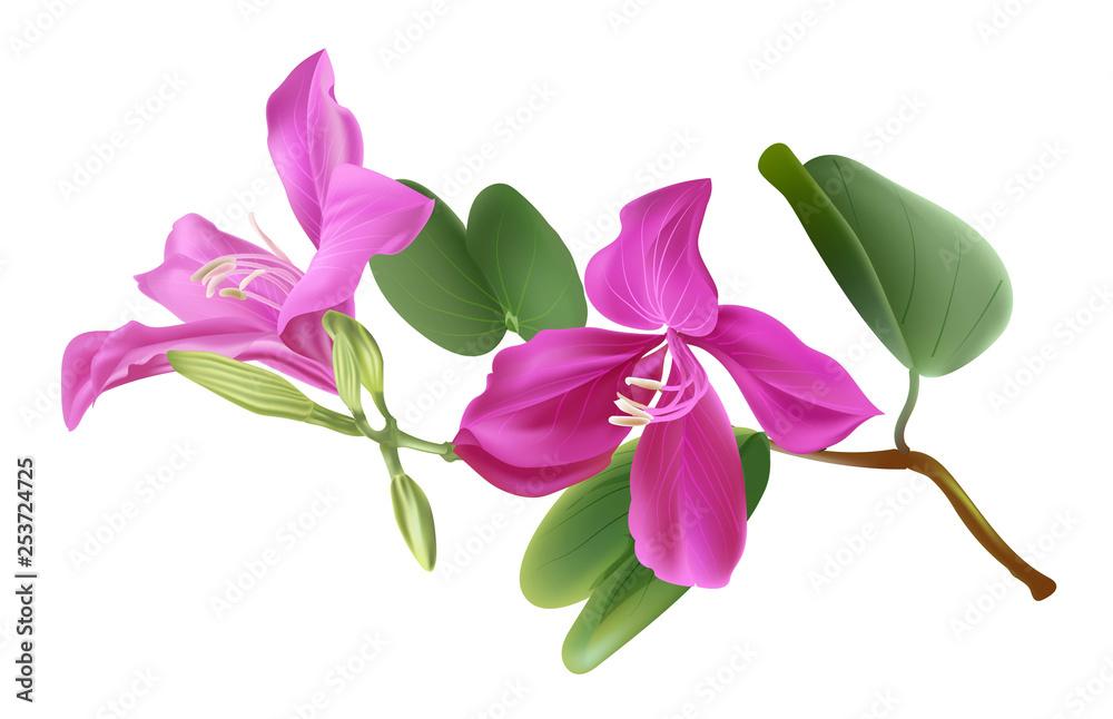 Fototapety, obrazy: Bauhinia flower vector illstration
