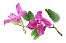 Bauhinia Flower Vector Illstration