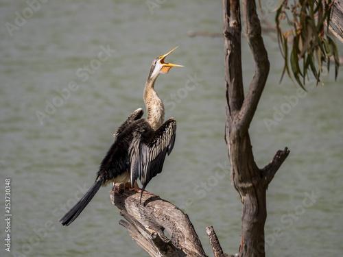 Fotografie, Obraz  Australiasian Darter, Kingston-on-Murray, SA