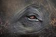 Asian elephant's eyes.