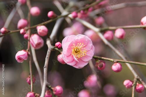 Fotografía  梅の花−5