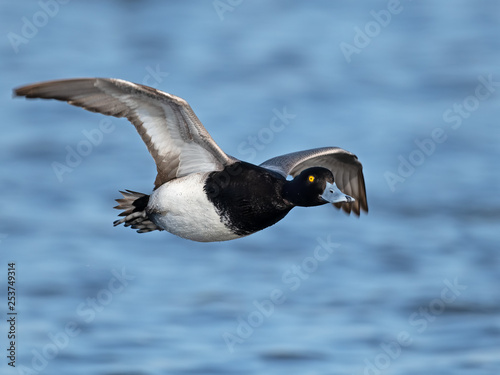 Fotografía  Male Lesser Scaup in Flight