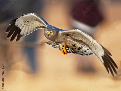 Canvas Print Northern Harrier Male aka Gray Ghost