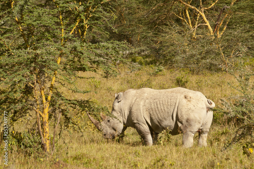 Fotografija  White rhinoceros ( Ceratotherium simum) in Lake Nakuru national park in Kenya