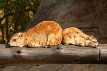 Two Rock Hyrax (Procavia Capen...