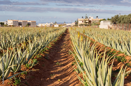 Foto  Aloe Vera grows on the beds
