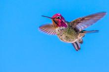 Iridescent Male Anna's Hummingbird In Flight Preparing To Change Course