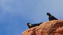 Lear's Macaw Family (adults And Young) On The Edge Of Sandstone Cliff In Caatinga, Brazil
