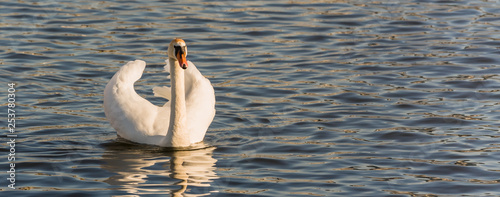 Poster Cygne Swan on the lake