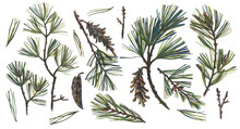 Floral Set Isolated On White With Eastern White Pine Branch, Pine Cones And Pine Needles. Botanical Elements Drawn By Color Pencils. Realistic Drawing.