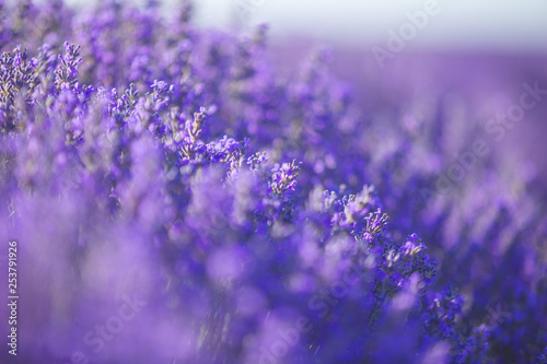 Poster Prune Lavender flowers in a soft focus, pastel colors and blur background