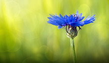 Macro Of A Blue Cornflower Iso...