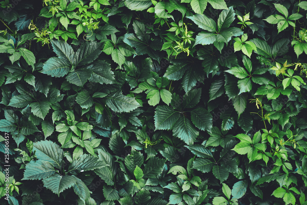 Fototapety, obrazy: Hedge of big green leaves in spring. Green fence of parthenocissus henryana. Natural background of girlish grapes. Floral texture of parthenocissus inserta. Rich greenery. Plants in botanical garden.
