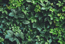 Hedge Of Big Green Leaves In S...