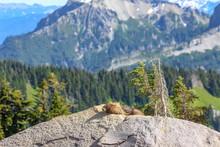 Hoary Marmot Portrait In Mt. Rainier, WA