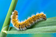 Eggar Moth (lasiocampa Trifolii) Caterpillar