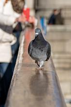 Tourist Takes A Selfie As A Wild Urban City Pigeon Strutting Along The Hand Rail Of Tower Bridge, London, UK