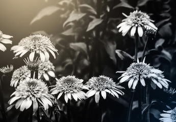kwiaty czarno białe