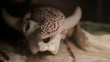 A Leopard Gecko Licks Its Lips.
