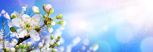 Fototapeta Blooming In Spring - Almond Blossoms In Sunny Sky obraz