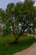 Netherlands, Zaanse Schans, large green tree