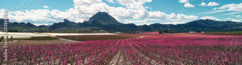 Cropped panoramic image blossoming fruit trees in Cieza, Spain