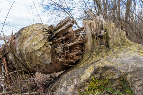 фотография Vom Bieber gefällter Baum