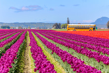 Field Of Beautiful Colorful Tulips