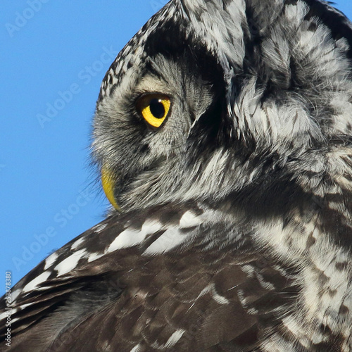 Deurstickers Hand getrokken schets van dieren Northern Hawk Owl