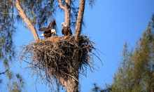 Family Of Two Bald Eagle Haliaeetus Leucocephalus Parents With Their Nest Of Chicks