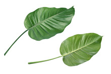 Tropical Green Leaf Isolated ...