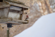 A Purple House Finch Perches At An Old Rustic Bird Feeder In Winter