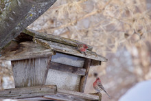 A Pair Of Purple House Finches Perch At An Old Rustic Bird Feeder In Winter