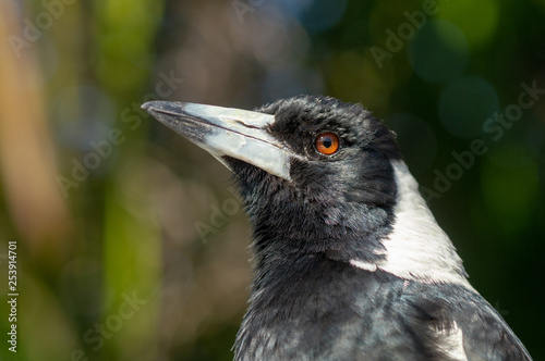 Australian Magpie Fototapet