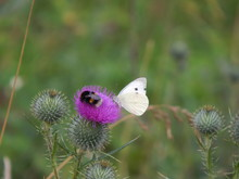 Butterfly And Bumblebee Together On A Flower(Belarus. Minsk District)