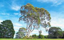 Eucalyptus Tree In A Grass Field